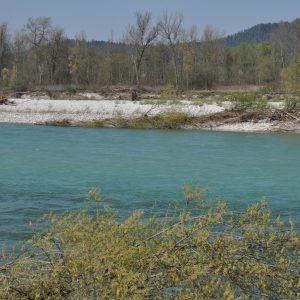 Modra Sava spomladi